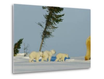 Polar Bear Triplets Follow in Their Mothers Footsteps-Norbert Rosing-Metal Print
