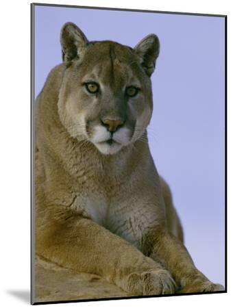 Portrait of a Mountain Lion-Norbert Rosing-Mounted Photographic Print