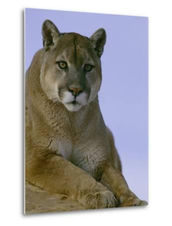 Portrait of a Mountain Lion-Norbert Rosing-Metal Print