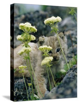 A Tiny Lynx Cub Peeks out Through a Clump of Wildflowers-Norbert Rosing-Stretched Canvas Print