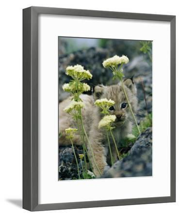 A Tiny Lynx Cub Peeks out Through a Clump of Wildflowers-Norbert Rosing-Framed Photographic Print