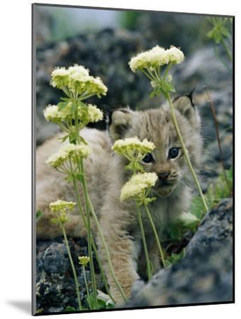 A Tiny Lynx Cub Peeks out Through a Clump of Wildflowers-Norbert Rosing-Mounted Photographic Print