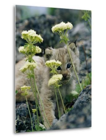 A Tiny Lynx Cub Peeks out Through a Clump of Wildflowers-Norbert Rosing-Metal Print