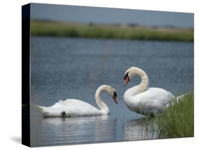Swans in a Pond-James L^ Stanfield-Stretched Canvas Print