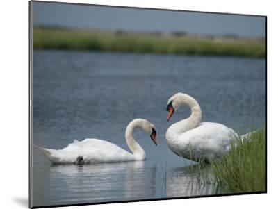 Swans in a Pond-James L^ Stanfield-Mounted Photographic Print