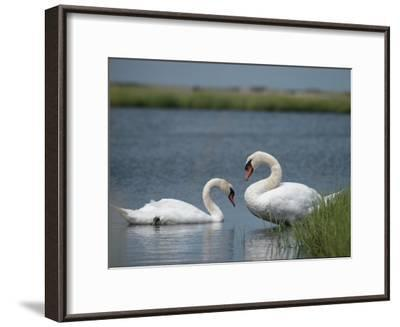 Swans in a Pond-James L^ Stanfield-Framed Photographic Print