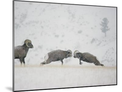 American Bighorn Rams Square off in a Duel-Michael S^ Quinton-Mounted Photographic Print