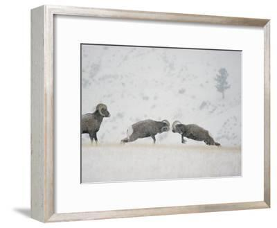American Bighorn Rams Square off in a Duel-Michael S^ Quinton-Framed Photographic Print