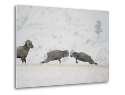 American Bighorn Rams Square off in a Duel-Michael S^ Quinton-Metal Print