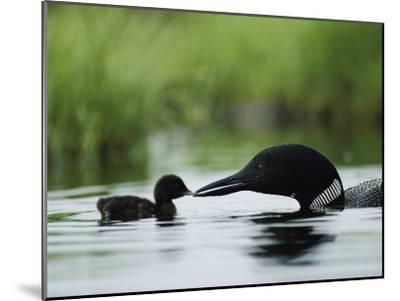 A Tiny Loon Chick Being Fed by its Parent-Michael S^ Quinton-Mounted Photographic Print