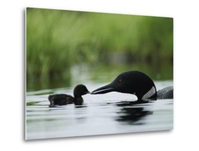 A Tiny Loon Chick Being Fed by its Parent-Michael S^ Quinton-Metal Print