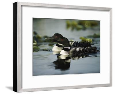 Close View of a Mated Pair of Common Loons Swimming in Tandem-Michael S^ Quinton-Framed Photographic Print