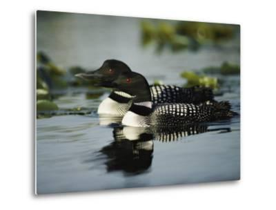 Close View of a Mated Pair of Common Loons Swimming in Tandem-Michael S^ Quinton-Metal Print