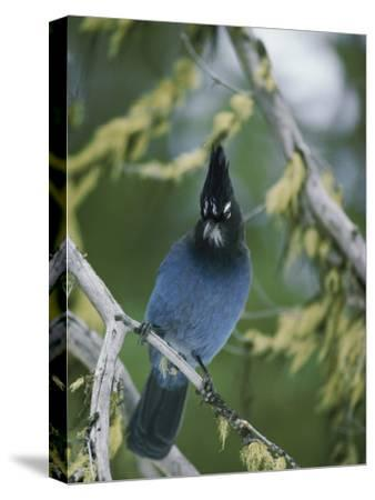 Close View of a Stellers Jay Sitting on a Branch-Michael S^ Quinton-Stretched Canvas Print