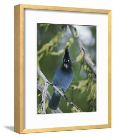 Close View of a Stellers Jay Sitting on a Branch-Michael S^ Quinton-Framed Photographic Print