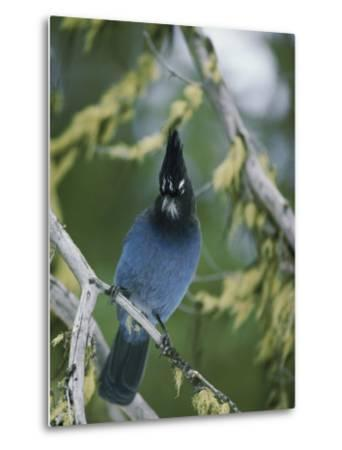 Close View of a Stellers Jay Sitting on a Branch-Michael S^ Quinton-Metal Print