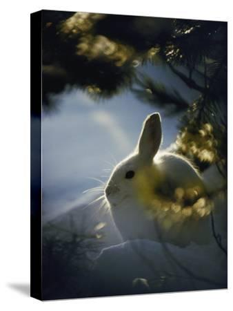 Backlit Portrait of a Little Snowshoe Hare in Winter Camouflage-Michael S^ Quinton-Stretched Canvas Print