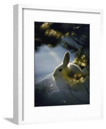 Backlit Portrait of a Little Snowshoe Hare in Winter Camouflage-Michael S^ Quinton-Framed Photographic Print