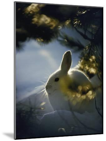 Backlit Portrait of a Little Snowshoe Hare in Winter Camouflage-Michael S^ Quinton-Mounted Photographic Print