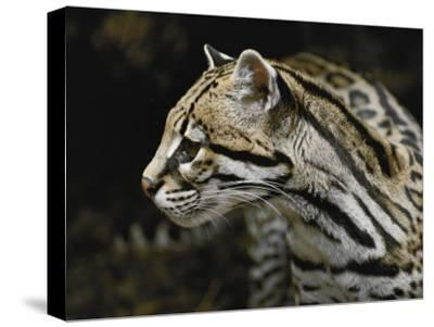 An Ocelot-Jason Edwards-Stretched Canvas Print