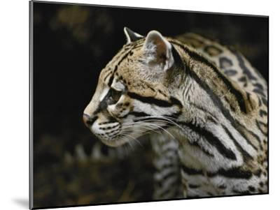 An Ocelot-Jason Edwards-Mounted Photographic Print