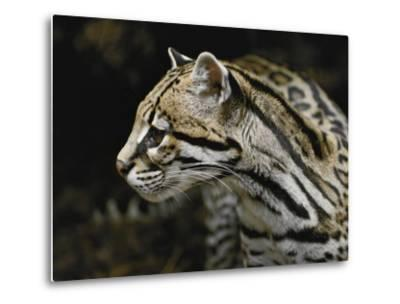 An Ocelot-Jason Edwards-Metal Print