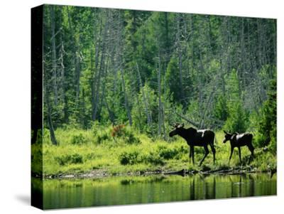 A Natural Salt Lick Lures Moose to the Shores of Hidden Lake-Phil Schermeister-Stretched Canvas Print