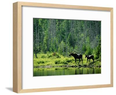 A Natural Salt Lick Lures Moose to the Shores of Hidden Lake-Phil Schermeister-Framed Photographic Print