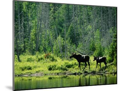 A Natural Salt Lick Lures Moose to the Shores of Hidden Lake-Phil Schermeister-Mounted Photographic Print