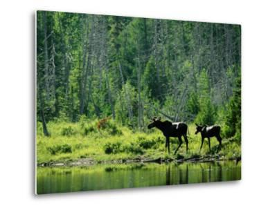 A Natural Salt Lick Lures Moose to the Shores of Hidden Lake-Phil Schermeister-Metal Print