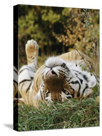 An Adult Siberian Tiger Lounges on His Back-Dr^ Maurice G^ Hornocker-Stretched Canvas Print