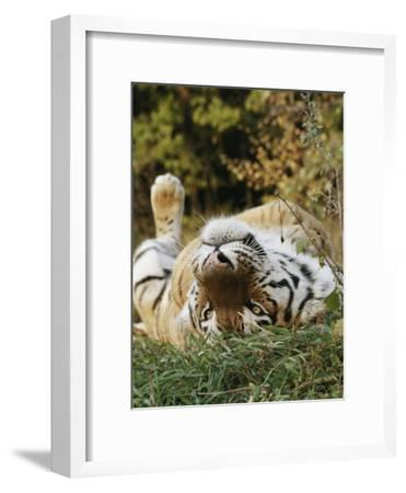 An Adult Siberian Tiger Lounges on His Back-Dr^ Maurice G^ Hornocker-Framed Photographic Print