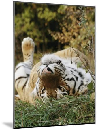 An Adult Siberian Tiger Lounges on His Back-Dr^ Maurice G^ Hornocker-Mounted Photographic Print