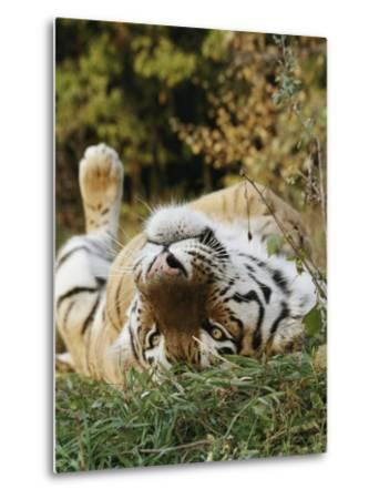 An Adult Siberian Tiger Lounges on His Back-Dr^ Maurice G^ Hornocker-Metal Print