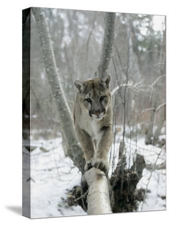 A Mountain Lion Walks Along a Tree Branch in Winter-Dr^ Maurice G^ Hornocker-Stretched Canvas Print