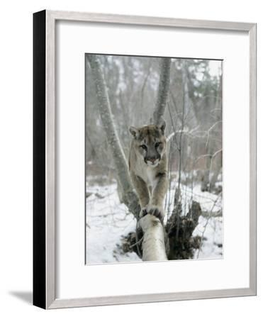 A Mountain Lion Walks Along a Tree Branch in Winter-Dr^ Maurice G^ Hornocker-Framed Photographic Print