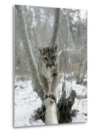 A Mountain Lion Walks Along a Tree Branch in Winter-Dr^ Maurice G^ Hornocker-Metal Print