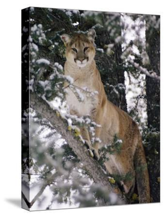 Beautiful Shot of a Mountain Lion in a Snowy Tree-Dr^ Maurice G^ Hornocker-Stretched Canvas Print