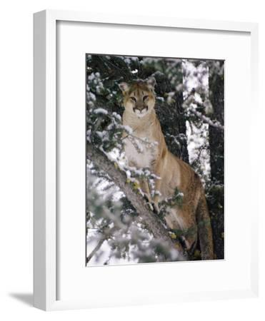 Beautiful Shot of a Mountain Lion in a Snowy Tree-Dr^ Maurice G^ Hornocker-Framed Photographic Print