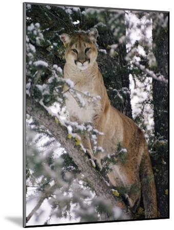 Beautiful Shot of a Mountain Lion in a Snowy Tree-Dr^ Maurice G^ Hornocker-Mounted Photographic Print
