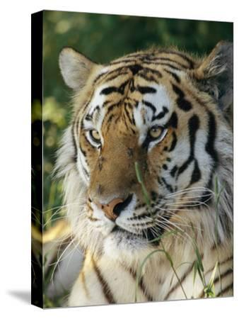 Portrait of a Tiger-Dr^ Maurice G^ Hornocker-Stretched Canvas Print