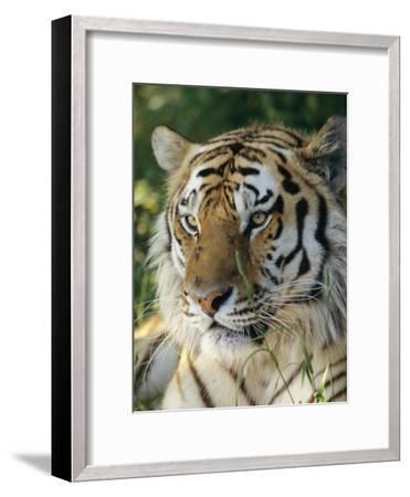 Portrait of a Tiger-Dr^ Maurice G^ Hornocker-Framed Photographic Print