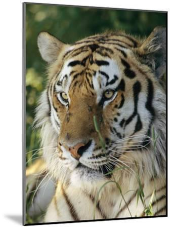 Portrait of a Tiger-Dr^ Maurice G^ Hornocker-Mounted Photographic Print