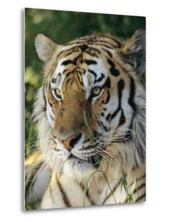 Portrait of a Tiger-Dr^ Maurice G^ Hornocker-Metal Print