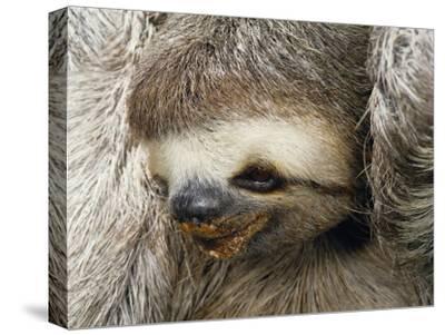 Close Portrait of a Three Toed Sloth-Darlyne A^ Murawski-Stretched Canvas Print