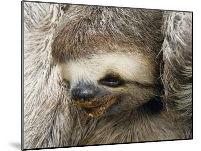Close Portrait of a Three Toed Sloth-Darlyne A^ Murawski-Mounted Photographic Print