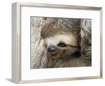Close Portrait of a Three Toed Sloth-Darlyne A^ Murawski-Framed Photographic Print
