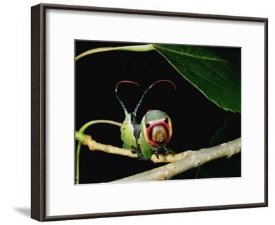 A Puss Moth Caterpillar on a Branch, Showing its False Face-Darlyne A^ Murawski-Framed Photographic Print