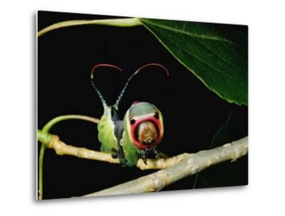 A Puss Moth Caterpillar on a Branch, Showing its False Face-Darlyne A^ Murawski-Metal Print