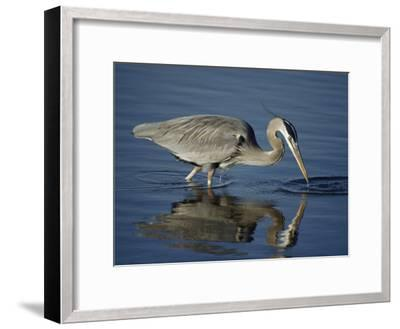 A Great Blue Heron Wades on Stilt-Like Legs While Foraging for Food-Bates Littlehales-Framed Photographic Print